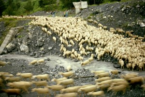 transhumance berger pastoralisme Péone Alpe