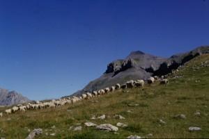 1996, Marcel Belieud et son troupeau vers le Pounchoun, Estrop (Péone)