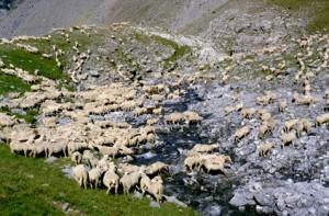1996, les brebis traversant la Lavanche, Estrop (Péone)