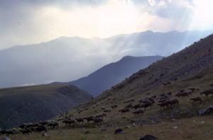 1997, Marcel Bellieud et son troupeau après l'orage, descendant des Arpès, Estrop (Péone)
