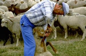 2000, Marcel Bellieud soignant une brebis