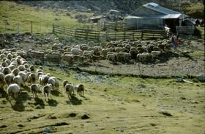 2002, le troupeau arrive le soir à la cabane pour être enfermé dans le parc et soigné le lendemain