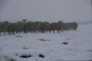 2003, les brebis surprises par la neige n'apprécient guère