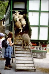 2005, arrivée de Franca André à Péone. Les brebis descendent de la bétaillère