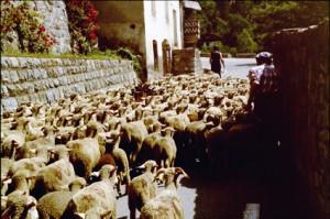 2005, les brebis de Franca André traverse Péone en direction de l'Estrop