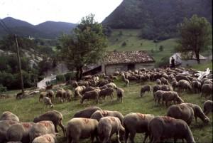 2006, le troupeau à la halte de la Serre