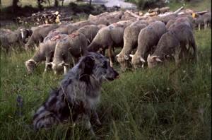 2006, à la Serre, la chienne Zoé surveille les brebis