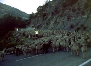 2006, départ du troupeau d'André Franca sur la route de Caussols à Thorenc