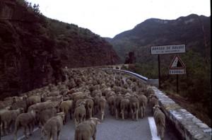 2006, le troupeau à l'entrée des gorges de Daluis