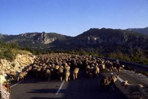 2006, le troupeau d'André Franca sur la route de Thorenc, le soir