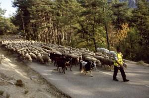 2007, sur la route de St-Auban André Franca devant ses brebis