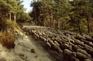2007, le troupeau sur la route de St-Auban