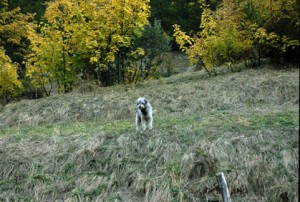 2008, la chienne Zoé à Estenc, le troupeau va descendre