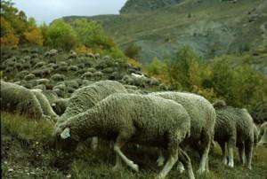2008, les brebis sur la route d'Estenc
