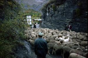 2008, le chargement des brebis à Entraunes