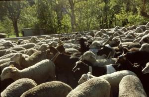 2009, le troupeau sur la route de Villeneuve d'Entraunes