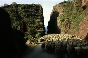 2009, le troupeau à la sortie des gorges de Daluis