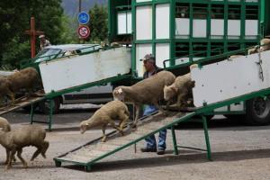les brebis sont déchargées au Bourguet, 2010