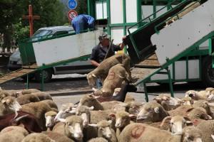 Francis Loquès surveille la descente des brebis, 2010