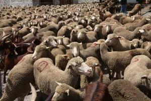 le troupeau est presque entièrement déchargé, 2010
