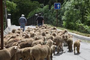 le troupeau part pour le parc du Bourguet avant de monter à Roya, 2010