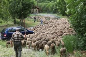 Une fois les brebis dans le parc, les bergers vont pouvoir casser la croûte avant de partir, 2010