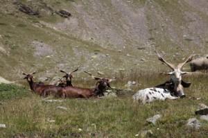 2011, sur la montagne de Claï. Chèvres et boucs du Rôves