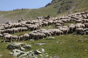 2011, le troupeau et les ânes sur la montagne de Claï