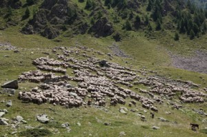 2011, sur la montagne  de Claî, le troupeau de Jean-Paul et Jean-Marie Loquès