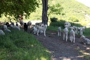 berger élevage agneaux
