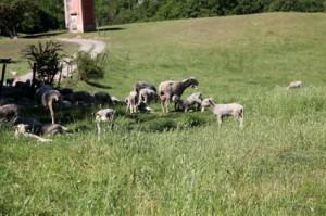berger agneaux élevage