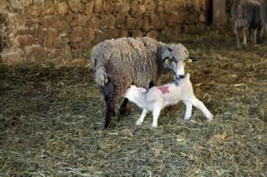 berger agneau élevage