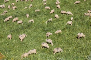 2011, les brebis et agneaux de Prosper Bressi