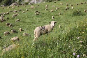 2011, le troupeau dans les pâturages du Castellar
