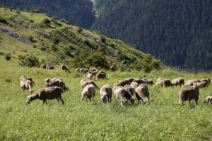 2011, le troupeau de métis de Prosper et Jean-Pierre Bressi
