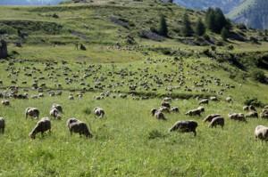 2011, le troupeau de Prosper et Jean-Pierre Bressi