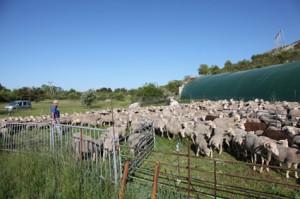 2011, marquage à Caussols, le troupeau dans le parc