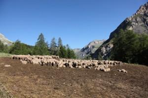 2011, le troupeau de Francis Loquès à l'Entenor