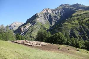 2011, Francis Loquès dans son troupeau à l'Entenor
