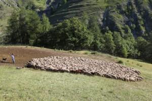 2011, Francis Loquès à l'Entenor. Départ du troupeau pour l'Alpe