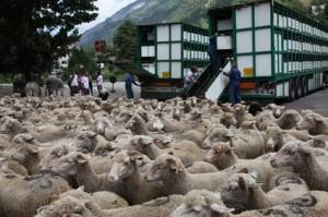 2011, arrivée au Bourguet. Les bétaillères continuent à décharger leurs flots de laine