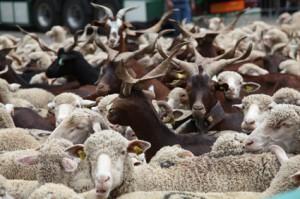 2011, brebis métis et chèvres du Rôves