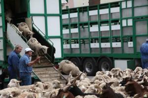 2011, les bétaillères continuent leur déchargement