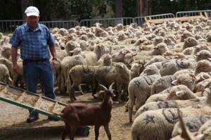 2011, arrivée au Bourguet. Jean-Paul Loquès jette un oeil sur les bêtes déjà déchargées