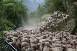 2011, sur la route de Roya, les brebis sentent l'herbe fraîche qui les attend