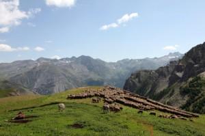 2013, les brebis de Philippe Benoît à l'Alpe