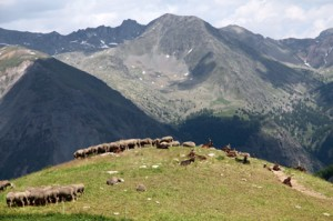 2013, brebis et chèvres du Rôves à l'Alpe