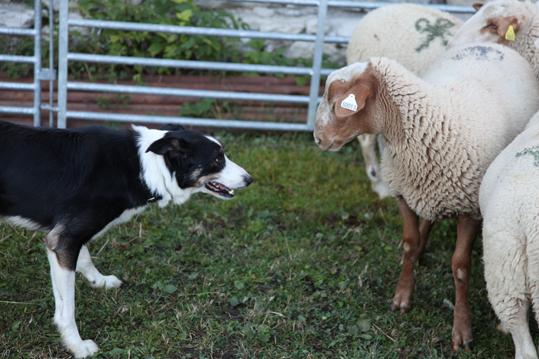 Face à face chez Didier Fischer, vacherie de Demandols, 2013