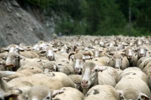 2013, le troupeau sur la route de Roya