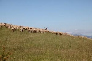 2013, les brebis et le bouc à Ars